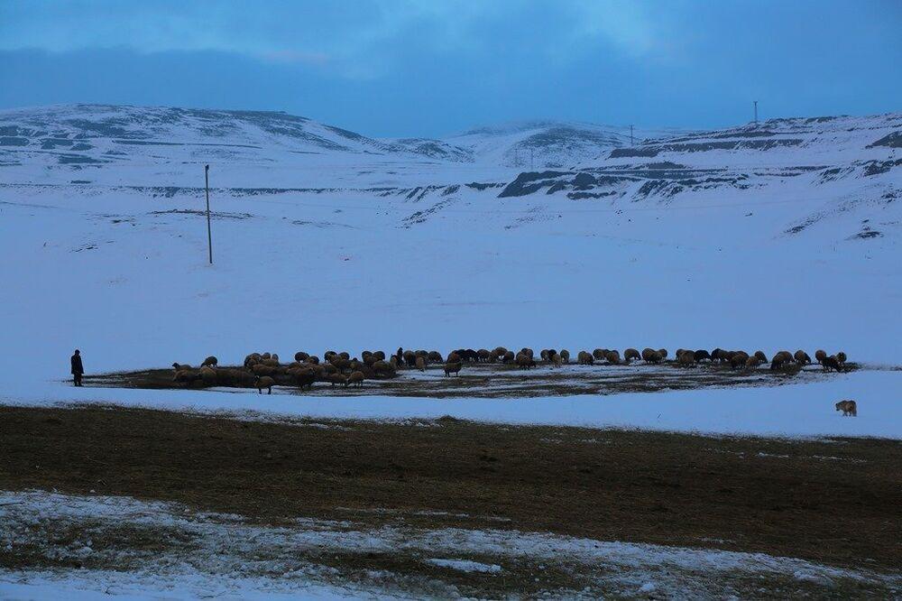 Ağrı'nın Doğubayazıt İlçesi kırsalında yol üstünde sürüleri ile bekleyen bir çoban.