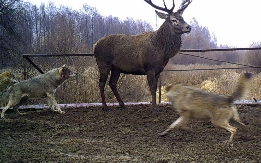 Çernobil'de yaşayan hayvanlar