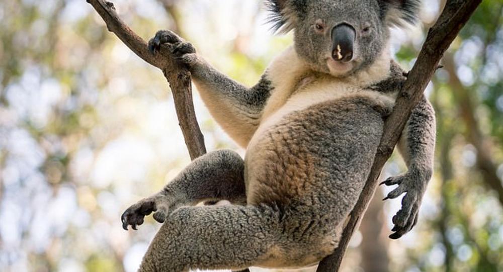 Avustralya'daki seksi koala