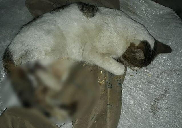 Tüfekle vurulmuş halde bulunan kedi kurtarılamadı