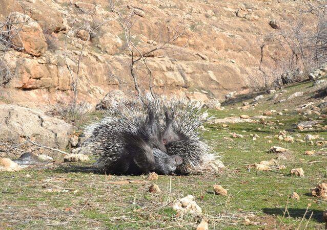 Koruma altındaki oklu kirpinin öldürülmesine inceleme