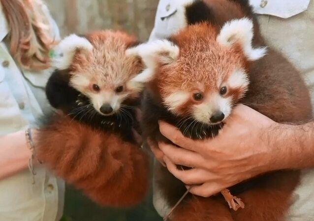 Avustralya'da sevimliliğiyle şaşırtan kırmızı panda yavruları heyecanı