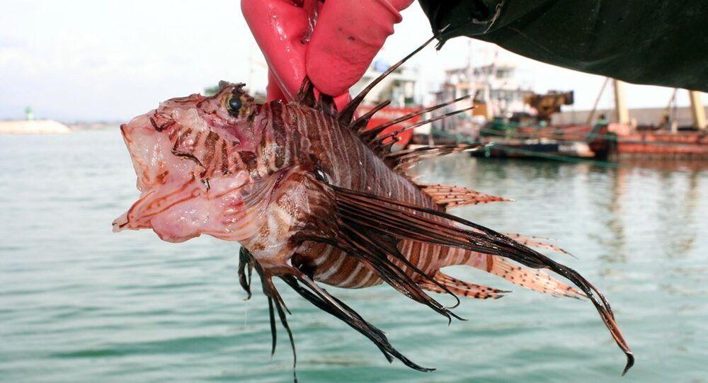 zehirli aslan balığı