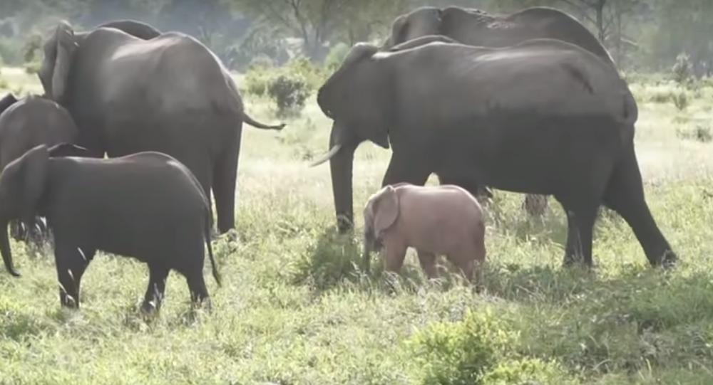 Güney Afrika'da pembe fil yavrusu böyle görüntülendi