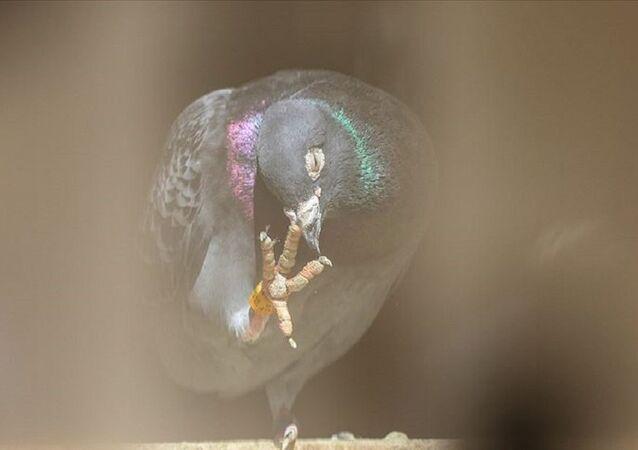 Armando, güvercin