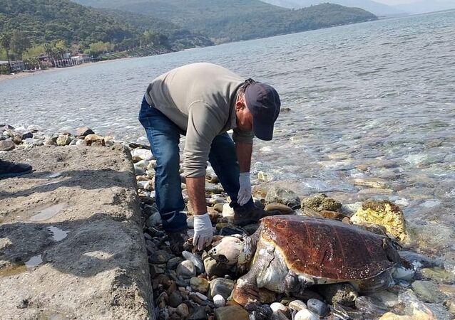 Kuşadası'nda iki ölü caretta caretta sahile vurdu