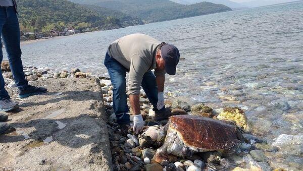 Kuşadası'nda iki ölü caretta caretta sahile vurdu - Sputnik Türkiye
