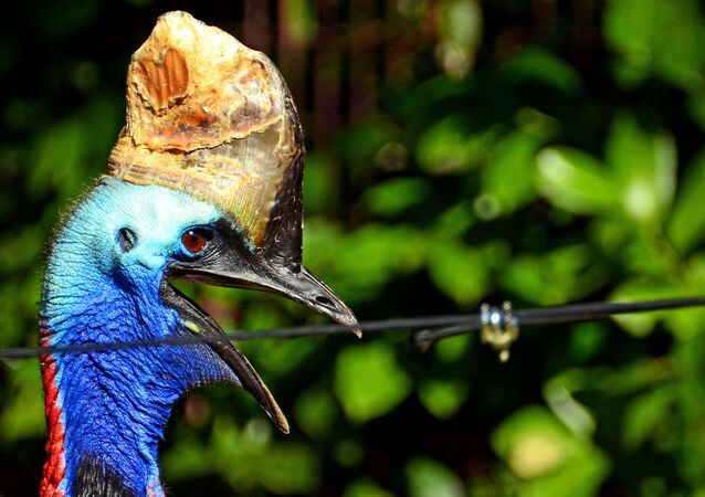 The flamboyant cassowary is natively found in the forests of Papua New Guinea and on it's surrounding islands. It has adapted to a life without the need to fly due to the fact that, historically, the cassowary had no predators within it's natural environment and therefore had no need to flee.