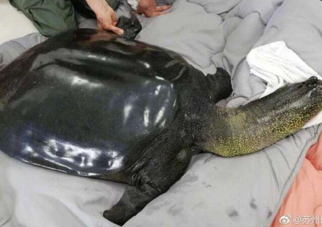 Yangtze kamplumbağası