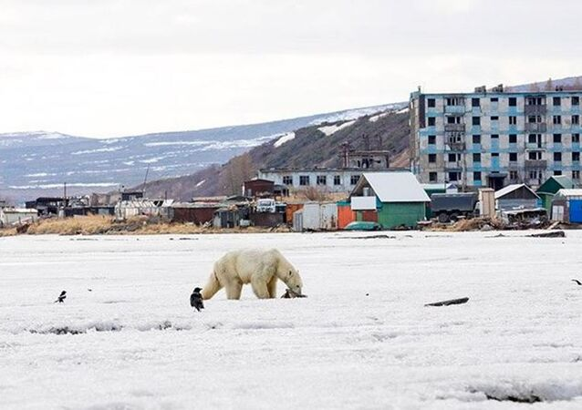 Buz parçası üzerinde 700 km sürüklenen kutup ayısı Rusya'da bir köyde beslendi