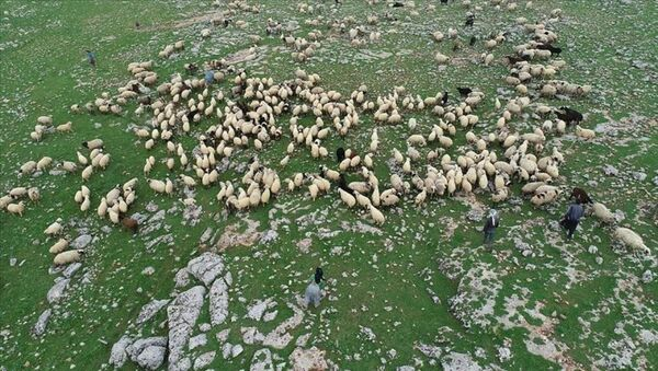 çoban - koyun - Sputnik Türkiye