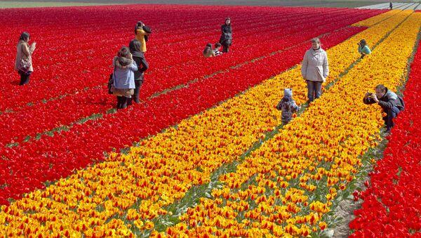 Hollanda'daki lale tarlaları fotoğraf meraklılarını çekiyor. - Sputnik Türkiye