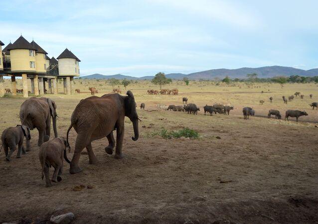 Kenya'nın başkenti Nairobi'de bulunan Tsavo West Miili Parkı çevresindeki Sarova salt-lick lodge otelinin konukları, odalarının pencerelerinden fil sürülerini izleyebilir.