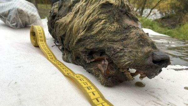 Rusya'da 40 bin yıllık donmuş kurt kafası bulundu  - Sputnik Türkiye