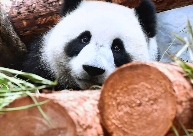 Panda canlı yayını