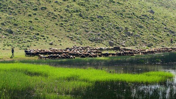 Muş'un Varto İlçesi'nde sürüsünü otlatmaya çıkaran bir çoban. - Sputnik Türkiye