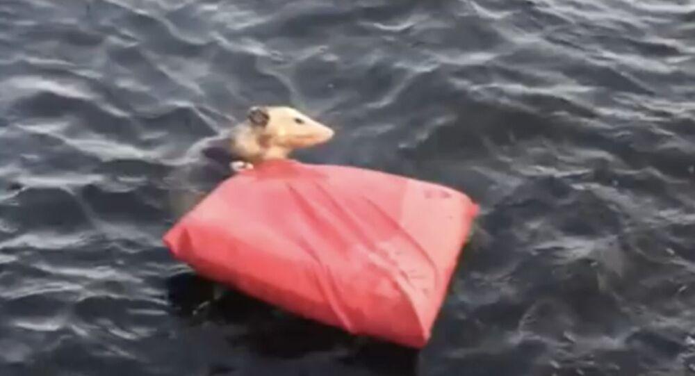 Keseli sıçanın boğulmaktan kurtarılma anları