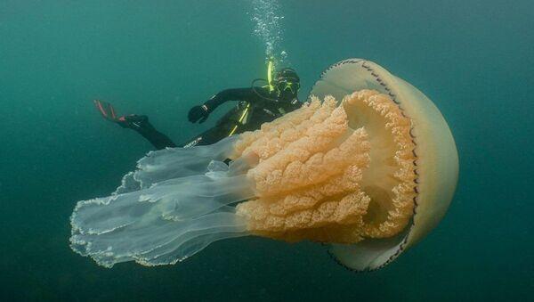 İngiltere kıyılarında insan büyüklüğünde dev bir denizanası görüldü - Sputnik Türkiye