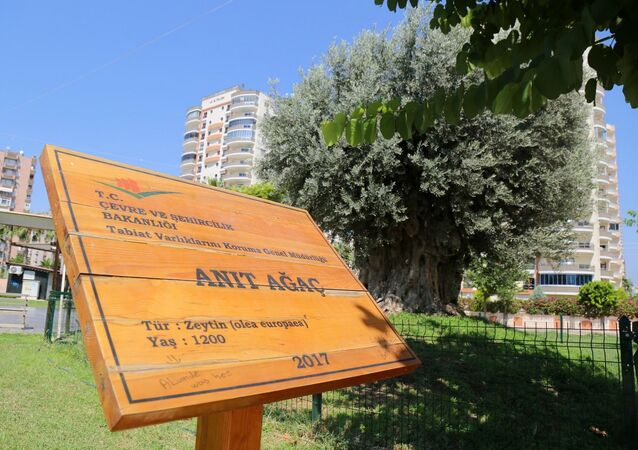 Mersin'in Mut ilçesinde 7 yıl önce sökülen 1202 yıllık anıt ağacı, Mezitli ilçesinde yeniden toprakla buluşturulmasının ardından, 2 yıl sonra zeytin vermeye başladı.