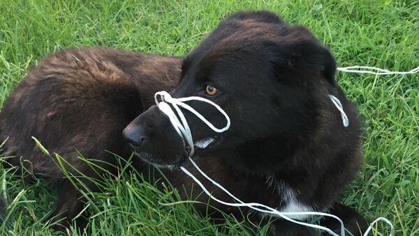 Köpeğin ayağını ve ağzını bağlayıp, ölüme terk ettiler - Sputnik Türkiye