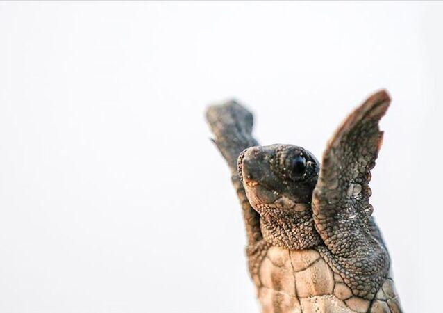Kaplumbağa - Caretta caretta