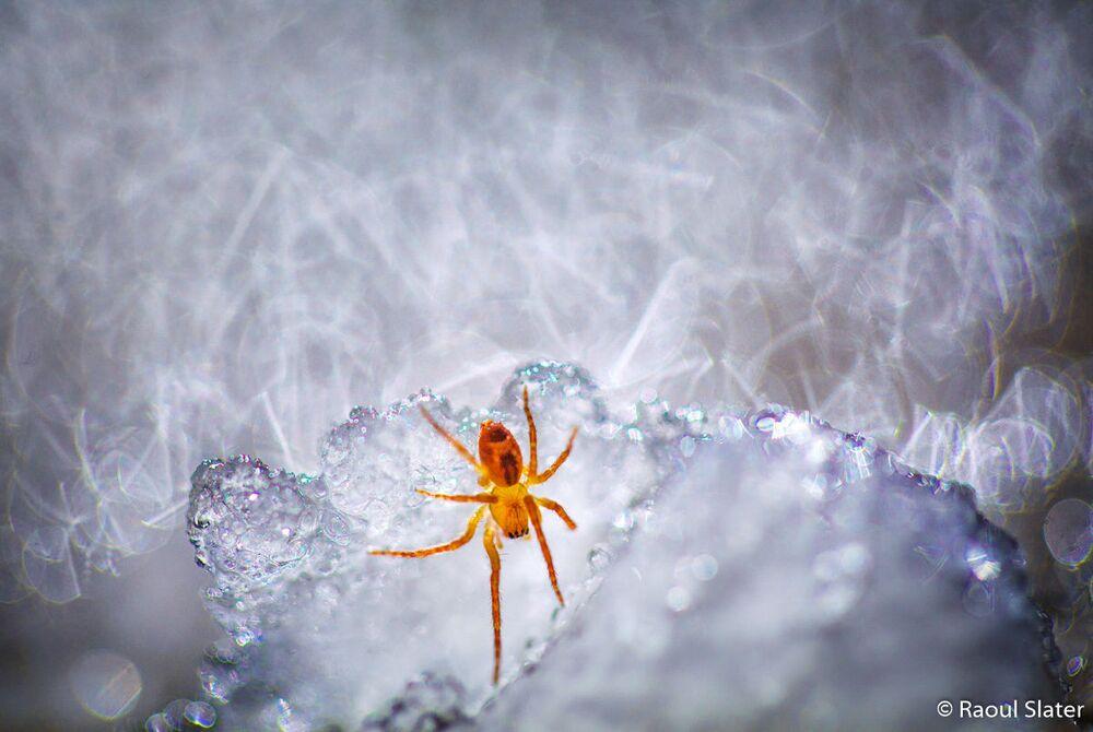 Avustralya 2019  Yılı Doğa Fotoğrafçısı Yarışması'nın Hayvanların Doğal Ortamı kategorisinde ikincilik ödülünü kazanan Raoul Slater'in Spider On Ice isimli fotoğrafı.