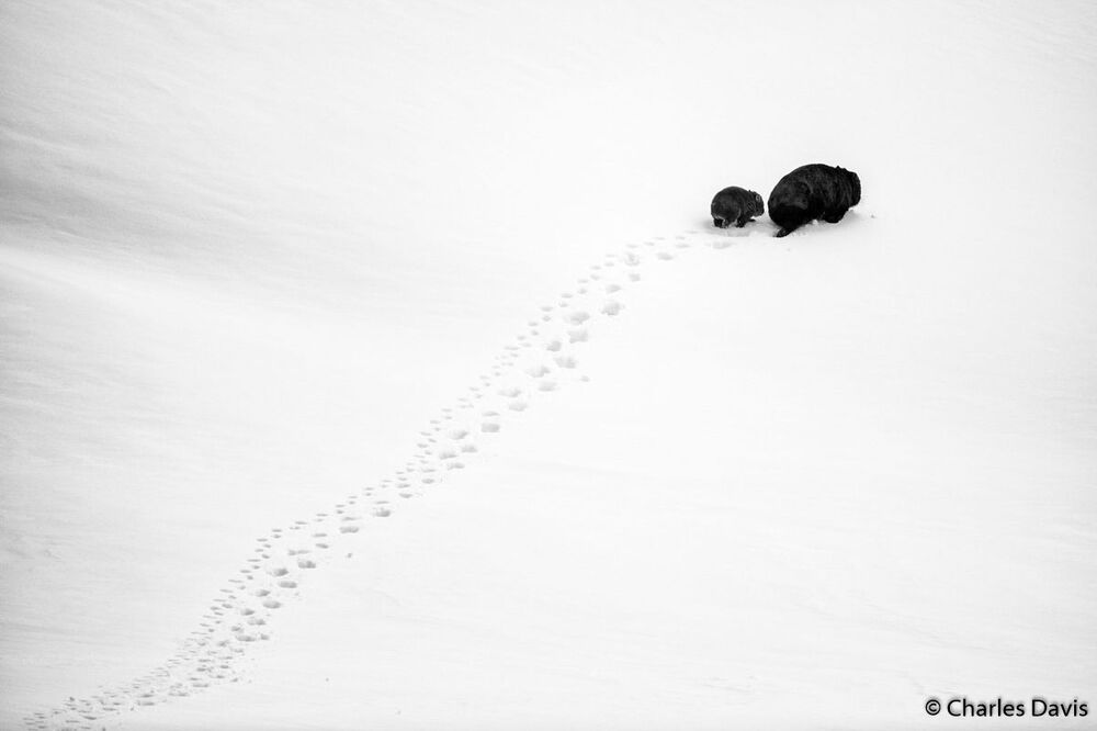 Avustralya 2019  Yılı Doğa Fotoğrafçısı Yarışması'nın Portföy kategorisinde birinci seçilen  fotoğrafçı Charles Davis'in Big Step, Little Step isimli çalışması.