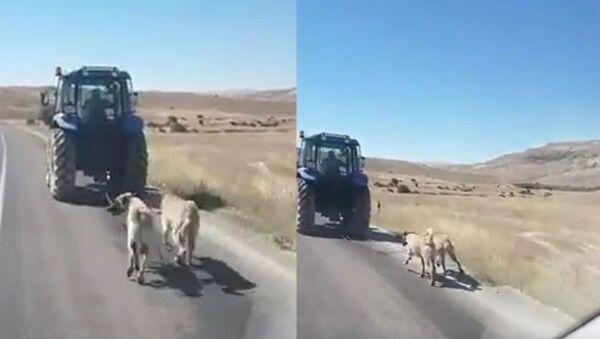 Kangal köpeklerini zincirle traktöre bağlayıp koşturdu - Sputnik Türkiye
