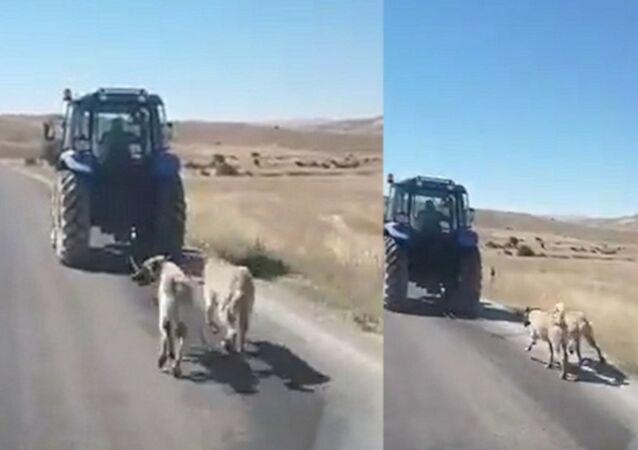 Kangal köpeklerini zincirle traktöre bağlayıp koşturdu