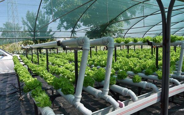50 ile 70 gün arasında toprakta yetişen marulları, su sayesinde 10- 15 günde yetiştiren Köprülü, üretiminin 3 kat daha fazla olduğunu belirtti. - Sputnik Türkiye