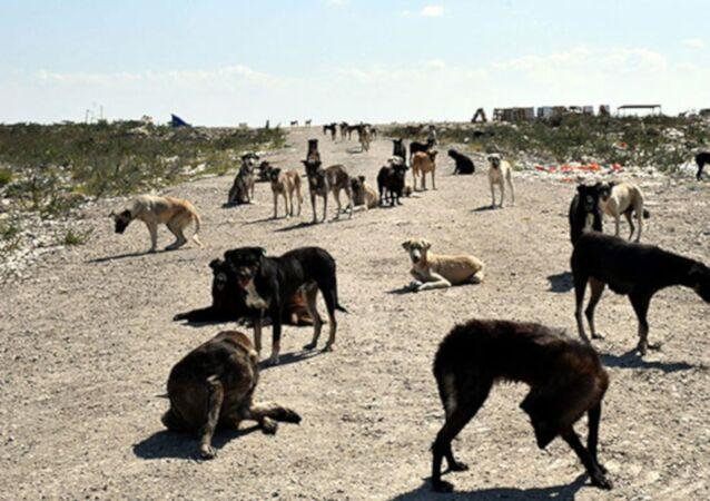 'Lüleburgaz'da 300 köpek kayboldu' iddiası
