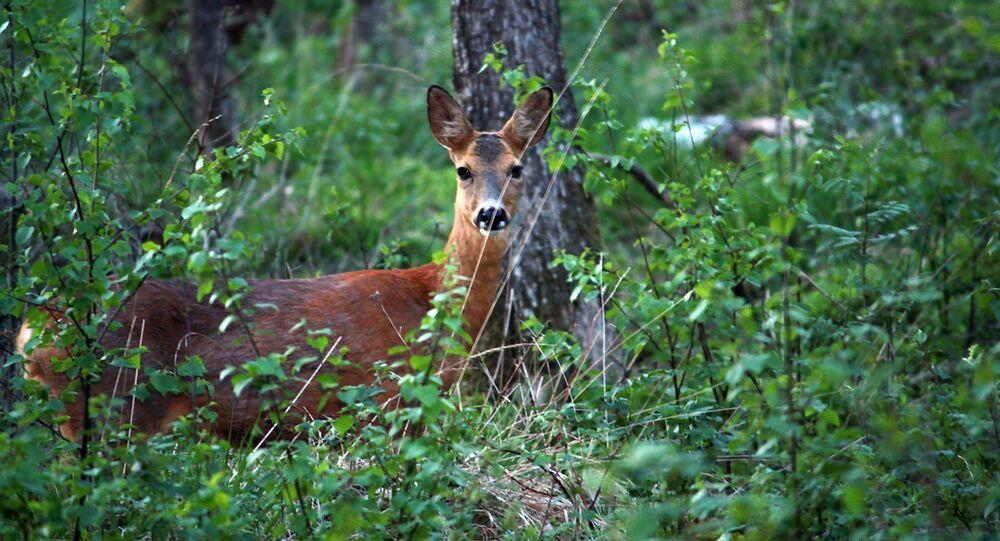 2. İsveç Fotoğrafta: İsveç'teki bir ormanda kameraya yakalanan geyik yavrusu