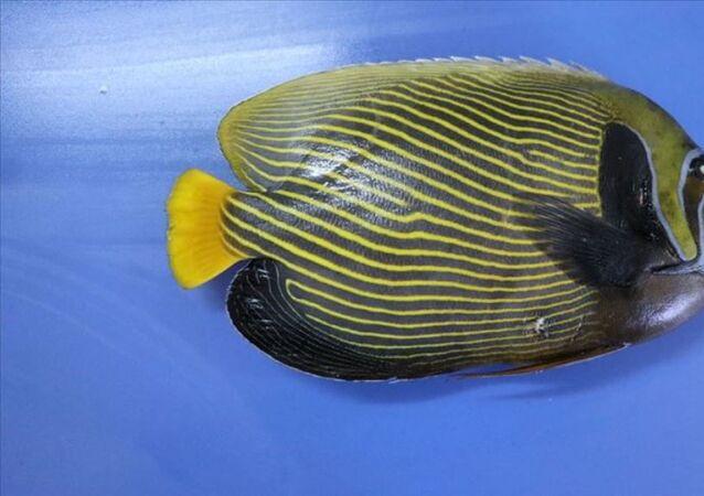 Fenerbahçe Balığı