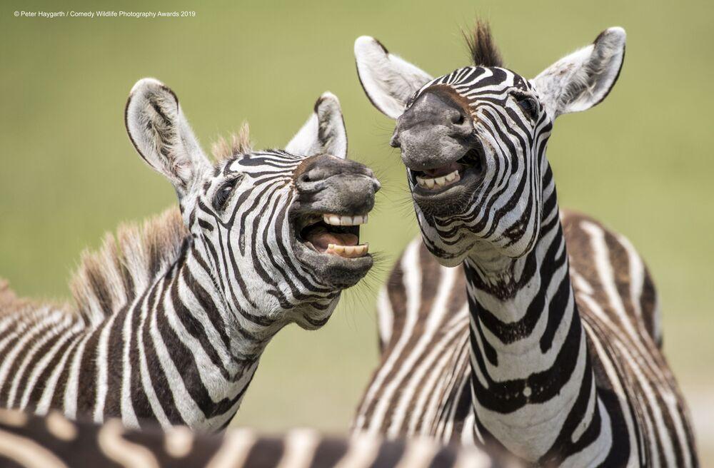 İngiliz yarışmacı Peter Haygarth'ın Tanzanya'da çektiği 'Kahkaha atan zebralar' fotoğrafı.