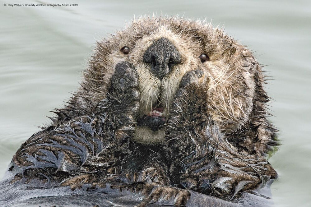 ABD'li fotoğrafçı Harry M. Walker'in 'Aman Aman' isimli deniz su samuru görüntüsü.