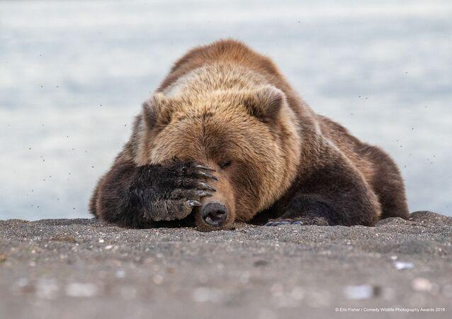 ABD'li yarışmacı Eric Fisher'in Alaska'da çektiği boz ayı fotoğrafı.
