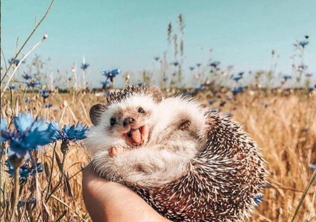 Sahibi tarafından fotoğrafları Instagramda paylaşılan ve Herbee adı verilen sevimli kirpi