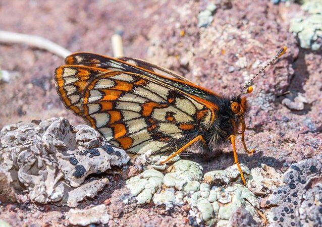 Türkiye'de ilk kez 1970'te Ağrı Dağı'nın 4 bin metre rakımında kaydedilen ve 12 bin yıl önce Son Buzul Çağı'ndan kaldığı bilinen kelebek türü 'Kuzeyli Nazuğum' yaklaşık 50 yıl sonra Ağrı Dağı'nda yeniden görüntülendi.
