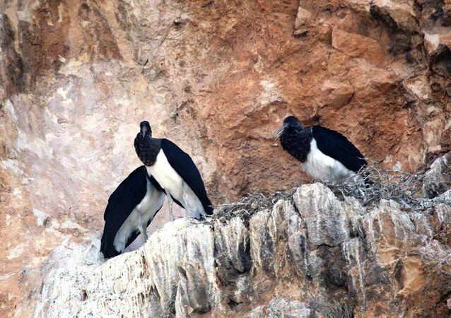 Kara leylekler, 25 yıl sonra Salda Gölü'nde