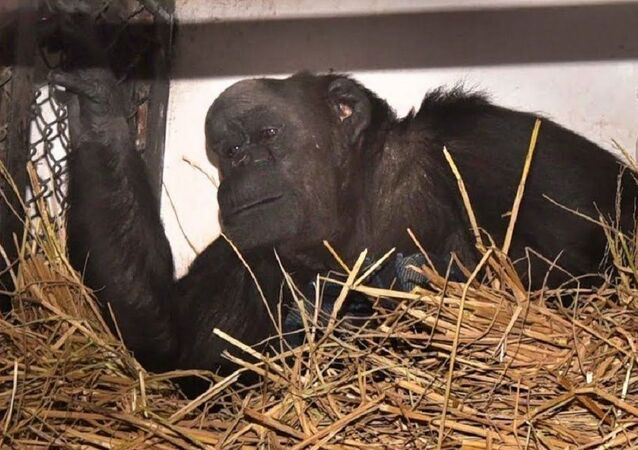 Chimpanzee  Rita