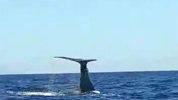 Çeşme açıklarında balina ve yavrusu görüldü  - Sputnik Türkiye
