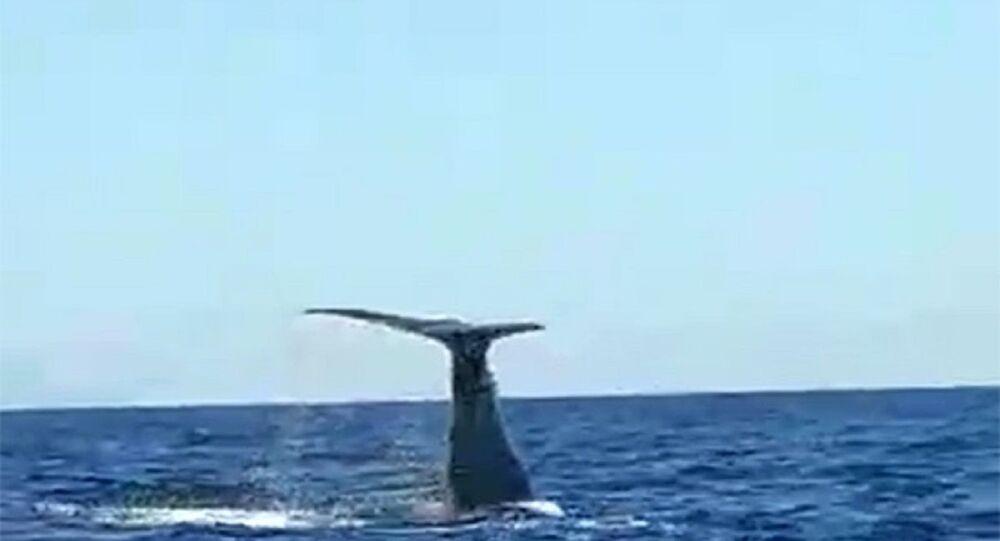 Çeşme açıklarında balina ve yavrusu görüldü