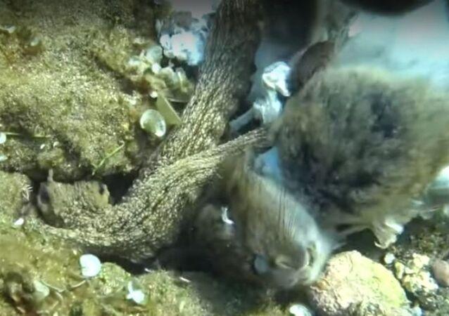 Ahtapot, tavşanı yerken görüntülendi