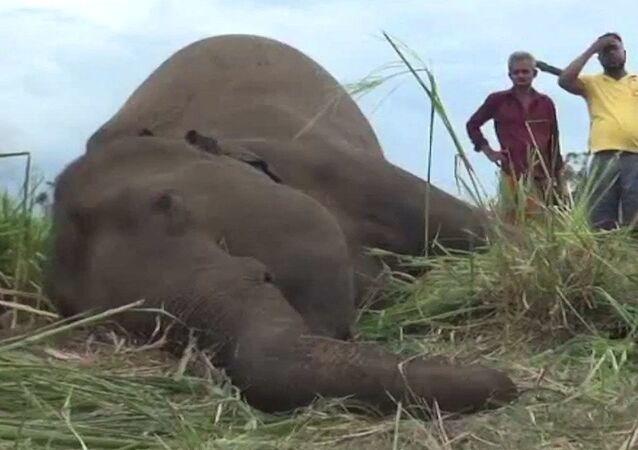 Sri Lanka'da fil ölümleri: köylüler zehirlemiş olabilir
