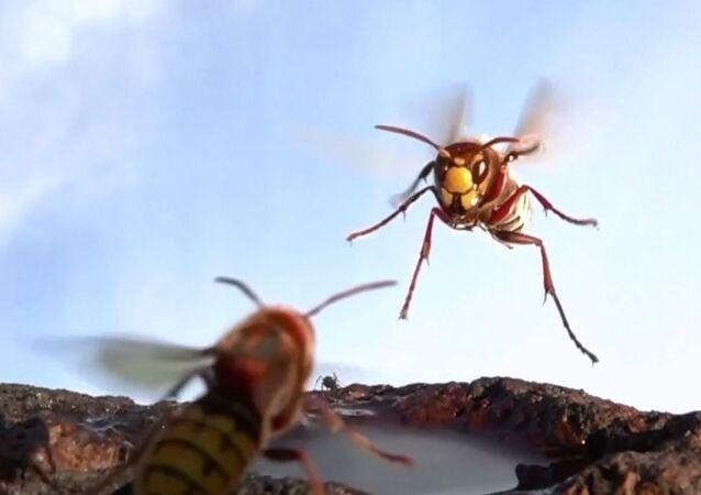 Eşek arılarının küçük bir su birikintisi üzerindeki kavgası, ağır çekimle kayda alındı