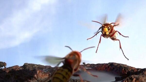 Eşek arılarının küçük bir su birikintisi üzerindeki kavgası, ağır çekimle kayda alındı - Sputnik Türkiye