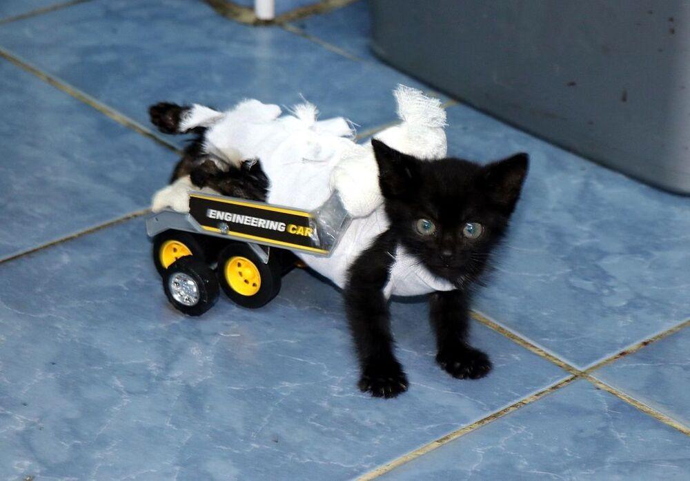 Kediye, oyuncak bir kamyonetin arkasını kesip iki tekerlekli, arka ayaklarını taşıyabilecek bir aparat yaptıklarını anlatan Tanrıkulu, Şimdi ön ayaklarını kullanabiliyor. Deneme yapıyor arkadaşlarımız. Dün ve bugün biraz yürüdü. Ön ayakları geliştikçe daha iyi olacak çünkü şu anda çok küçük. Ön ayakları kuvvetlendikçe de yürüyecek. Biz kedimizi çok seviyoruz dedi.