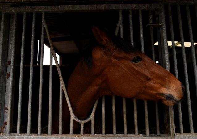 Anglo Sakson ülkelerinde at yarışı en popüler spor dalları arasında. İrlanda'da 2017 Cheltenham Altın Kupası'nı kazanan 'Sizing John' isimli yarış atı.