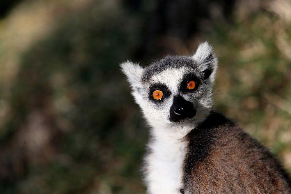 Bu ülkelerde çeşitli festivallerle lemurların günü kutlanırken, Bursa Büyükşehir Belediyesi Hayvanat Bahçesi'nde yaşayan hayvanlar da bu güne özel beslendiler.