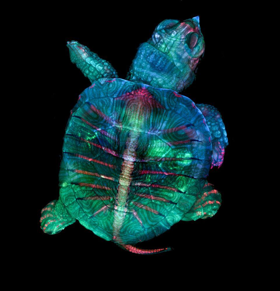 2019 Nikon Küçük Dünya Fotoğraf Yarışması'nı kazanan ABD'li fotoğrafçı Teresa Zgoda ve Teresa Kugler'in görüntülediği kaplumbağa embriyosu